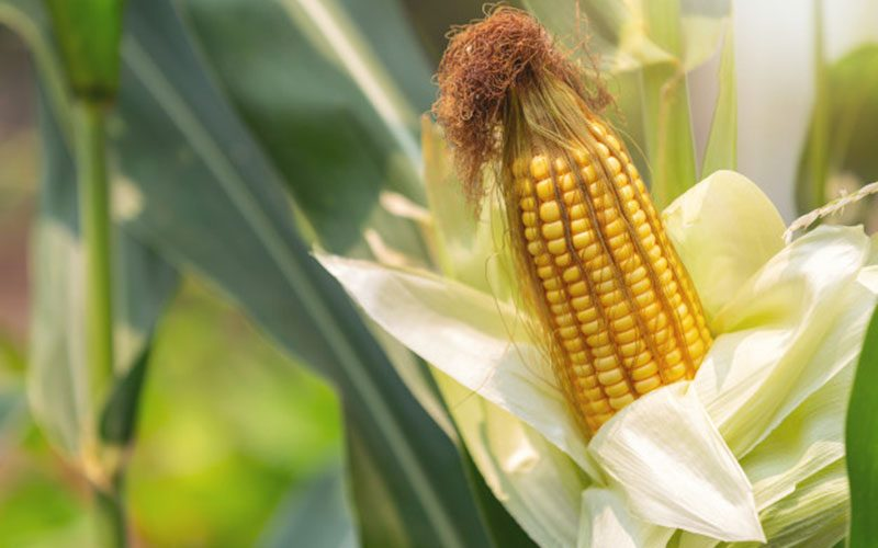 importance of maize production, types of maize, maize protection, plant protection practices